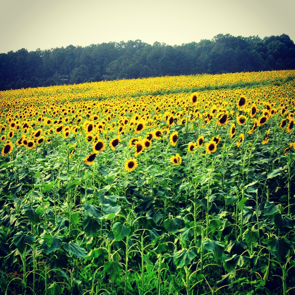 sunflower fields along the neuse greenway | the triangle explorer