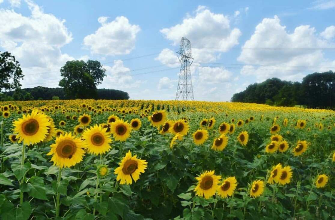 Sunflower Fields In Bloom Along The Neuse Greenway